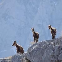 Familia de rebecos al atardecer, en el Macizo Central de Picos de Europa. 🦌  📸 Preciosa foto de @marioofotografia.